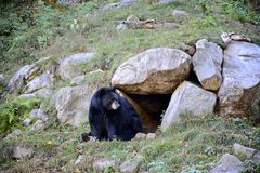 Black bear. Adult black bear sitting at the entrance of a cave Stock Images