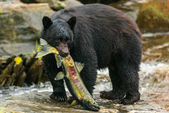 Black bear, Alaska. Black bear catching salmon in a creek, Alaska stock photos