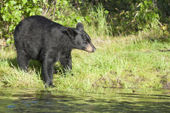 Black Bear in Alaska. A Black Bear in Alaska while looking at you from the river shore Royalty Free Stock Photos