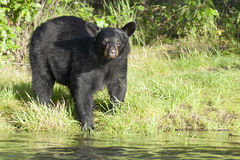 Black Bear in Alaska. A Black Bear in Alaska while looking at you from the river shore Royalty Free Stock Images