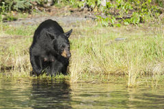 Black Bear in Alaska. A Black Bear in Alaska while looking at you from the river shore Stock Image
