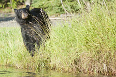 Black Bear in Alaska. A Black Bear in Alaska while looking at you from the river shore Stock Photography