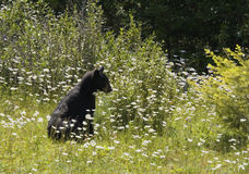Black bear on the alert Stock Image