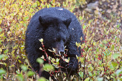 Black Bear along British Columbia highway Stock Photography