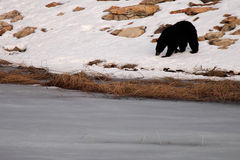 Black Bear Along Frozen Lake Royalty Free Stock Image