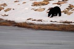 Black Bear Along Frozen Lake Royalty Free Stock Image