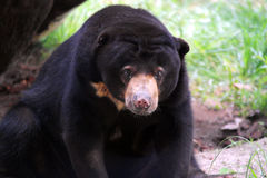 Black Bear. American large black bear close up profile head & body shot Stock Photo