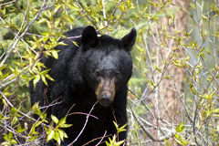 Black bear amongst bushes. A black bear walks through thick bushes Royalty Free Stock Photo