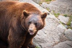 Black Bear Animal Outdoor Wildlife. Rare Cinnamon Black Bear Wildlife Animal in North Carolina Mountains Stock Photography