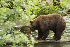 Black bear. A Black bear with an apple Stock Photo