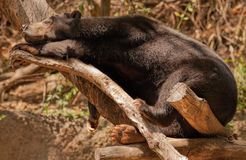 Black Bear Asleep in a Tree in the San Diego Zoo Royalty Free Stock Image