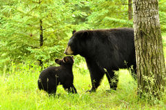Black Bear and baby playing. Stock Photos