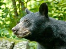 Backyard Bear. Black bear in backyard of home near Asheville, North Stock Photography