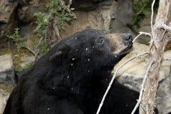 Black bear and bees Royalty Free Stock Image
