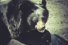 Black bear, big mammal, zoo scene Royalty Free Stock Photos
