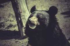 Black bear, big mammal, zoo scene Royalty Free Stock Images