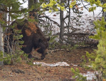 Black bear. A big old black bear in the forest at yellowstone national park stock photography