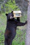 Black Bear on Birdfeeder. Black Bear standing upright checking out Birdfeeder Stock Images