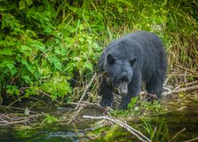 Black Bear. Checking the creek for fish Stock Photos