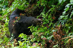 Black Bear in Black Berries. American Black Bear in Black Berries brambles in Cades Cove in Great Smokey Mountain National Park Cades Cove Stock Photo