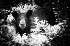 Black Bear Black & White. A photo of a black bear that has been returning to our property and raiding our dumpster.  We own a small campground and had to lock Stock Image