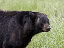 Black Bear Boar Royalty Free Stock Photography