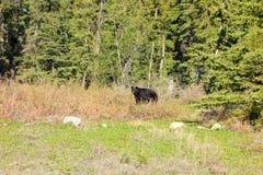 A black bear in british columbia Stock Photos
