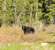 A black bear in british columbia royalty free stock photography