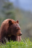 Black Bear brown color Royalty Free Stock Image