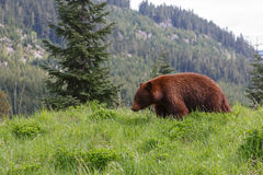 Black Bear brown color Royalty Free Stock Photos
