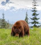 Black Bear brown color Stock Image