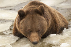 Black bear brown grizzly playing in the ice water. During winter time stock photo