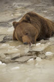 A black bear brown grizzly portrait in the snow while eating ice. In winter time royalty free stock photos