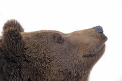 Black bear brown grizzly portrait in the snow while looking at you Stock Photos