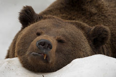 A black bear brown grizzly portrait in the snow while looking at you. Colse up Stock Photography