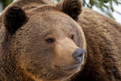 A black bear brown grizzly portrait in the snow while looking at you Stock Photo
