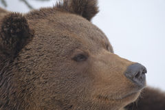A black bear brown grizzly portrait in the snow while looking at you Royalty Free Stock Photos