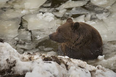 A black bear brown grizzly portrait in the snow while swimming in the ice. In winter time royalty free stock photography
