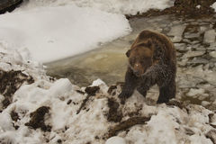A black bear brown grizzly portrait in the snow while swimming in the ice. In winter time stock photo