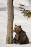 A black bear brown grizzly in the snow background Royalty Free Stock Image