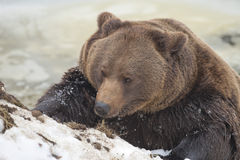 Black bear brown grizzly in winter Stock Image