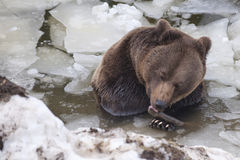 Black bear brown grizzly in winter Royalty Free Stock Image