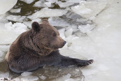 Black bear brown grizzly in winter Royalty Free Stock Photography
