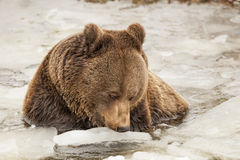 Black bear brown grizzly in winter Royalty Free Stock Images