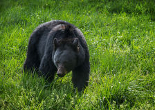 Black bear, Cades Cove, Great Smoky Mountains. Foraging black bear in the Cades Cove area of the Great Smoky Mountains National Park Royalty Free Stock Photo
