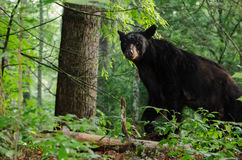 Black Bear in Cades Cove GSMNP. Black Bear in Cades Cove in Great Smokey Mountain National Park Stock Images