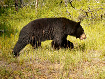 Black Bear, Canadian Rocky Mountains royalty free stock photo