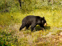 Black Bear, Canadian Rocky Mountains Royalty Free Stock Photos