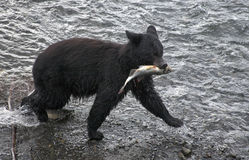 Black bear catches fish Stock Images