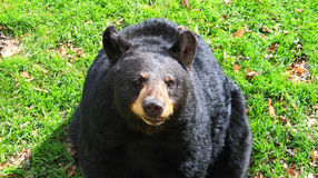 Black Bear in Center Royalty Free Stock Images